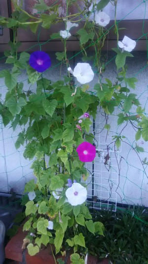 庭の朝顔 幸せな気持ち(^^♪